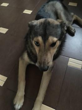 Найден разноглазый пёс - IMG_5117.JPG